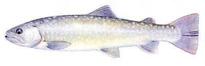 イワナ 管理釣り場ポータル 全国のエリアトラウト 管釣り情報